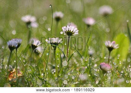 Daisies with morning dew in early spring