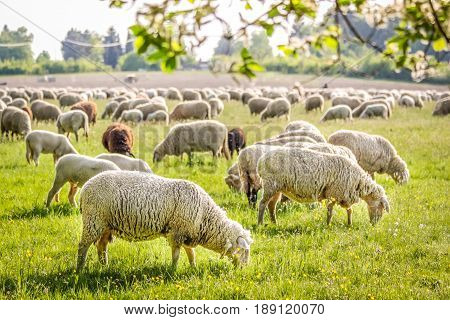 Flock Of Sheep in the Taunus mountains near Engenhahn Hesse Germany