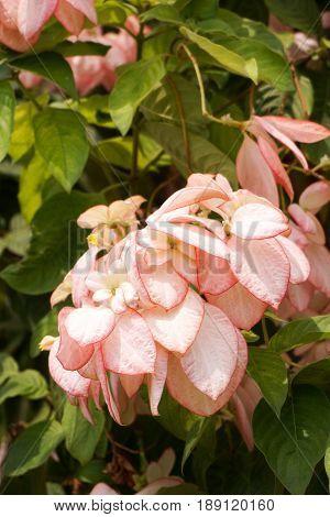 pink Dona Queen Sirikit flower in nature garden