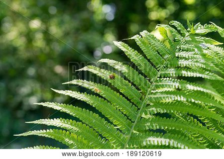 Close-up of green Fern leaves under sunlight in the woods. View on a little  beetle / ladybird on a Fern. Ferns in the morning light. Plants in the Forest.  Growing Ferns