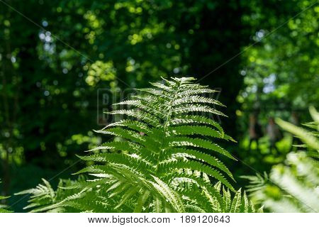 View on green Fern leaves under sunlight in the woods.  Ferns in the morning light. Plants in the Forest.  Growing Ferns