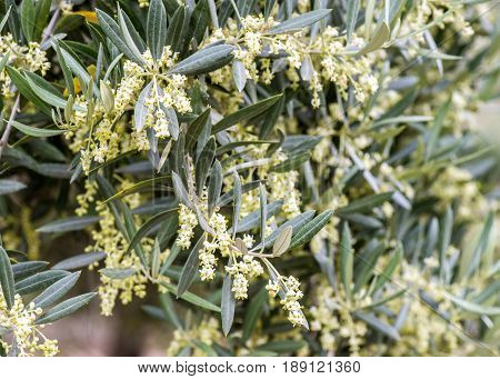 large amount of olive blossom in an olive grove in Southern Spain. Selective focus to ad copy space green and Ivory colors