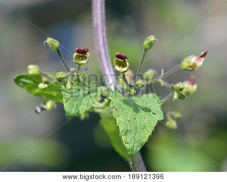 Balm-leaved Figwort