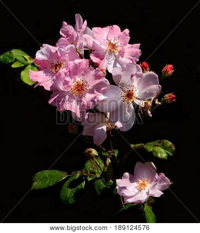 Blooming branch of pink Knockout roses against a dark black background