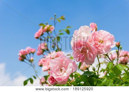 View on beautiful Pink Roses in Sunlight. Close-up of Roses in front of a blue Sky. Growing Roses (disambiguation). Garden Flowers.