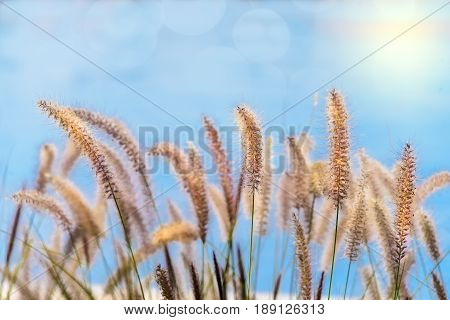 Softened sea oats with blue sky background and glowing sky