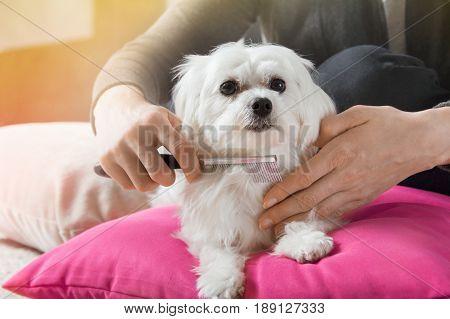 Woman Brushes Hair Of Her White Maltese Dog