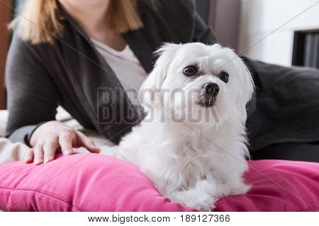 Woman Rests With Small Thoroughbred Maltese On The Pillow