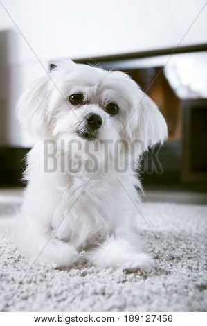 White Maltese Dog Sitting On Carpet And Looking Ahead