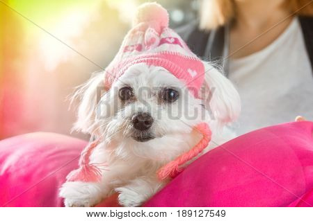 Maltese Dog Wearing A Cap Sits On A Pillow
