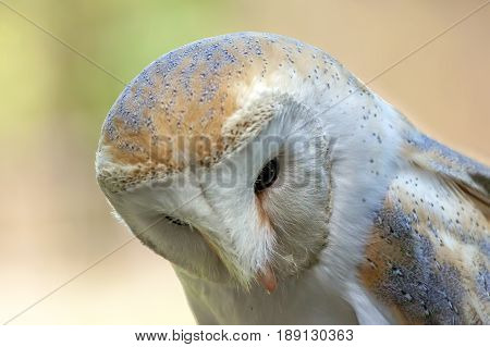 Closeup of a ommon barn owl Tyto alba