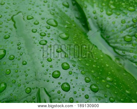 Lotus leaf with water drops effect green after rainy