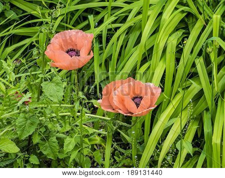 View of two pink poppies on a leafy background.