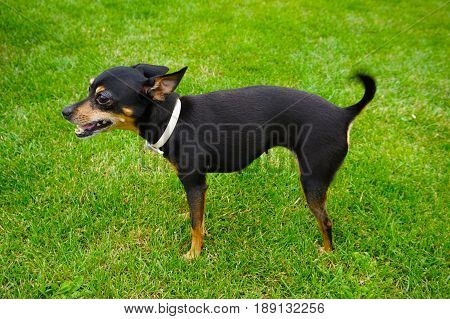 Prague Ratter Dog