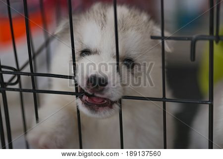 Cloe up of cute siberian puppy looking and try to escape from iron cage.