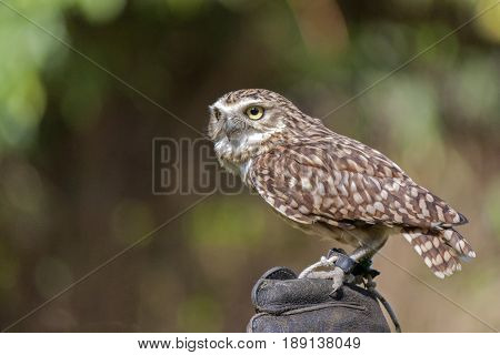 burrowing owl (Athene cunicularia) on the hand of a falconer