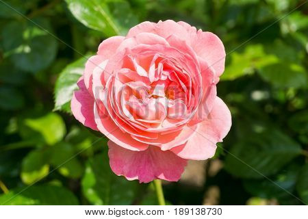 View on a beautiful Pink Rose in Sunlight. Close-up of a blooming Rose. Growing Roses (disambiguation). Garden Flowers.