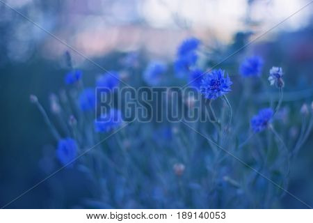 Blue flowers cornflowers on delicate background. Cornflowers in the open air. Selective focus.