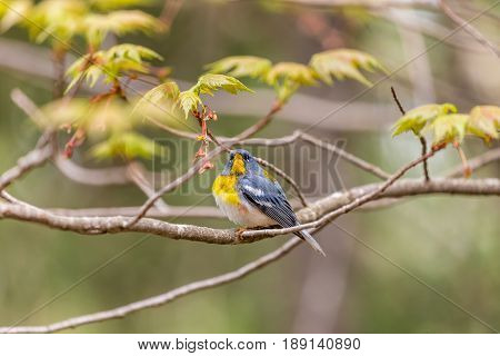 A small warbler of the upper canopy, the Northern Parula can be found in boreal forests of Quebec. It nests in Canada in June and July and after returns south to spend the winter.