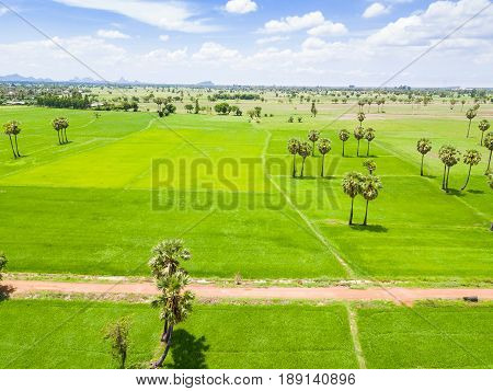 Rice Paddy And Sugar Palm Or Toddy Palm Plantation