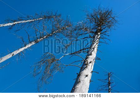 some dead birches in front of blue sky - bark beetle infestation - harz, germany