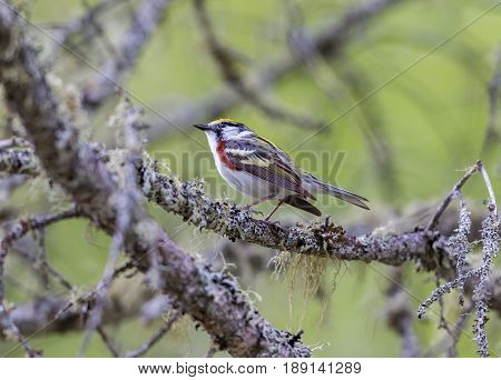 Chestnut Sided Warbler in northern Quebec, perched in its natural habitat, feasting on black flies in early spring.