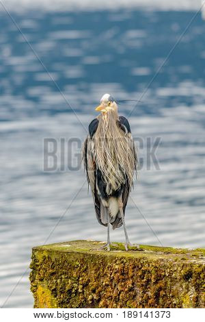 Great Blue Heron (Ardea herodias). It is the largest North American heron.