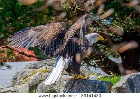Portrait of a bald eagle (lat. haliaeetus leucocephalus) in Vancouver, Canada.