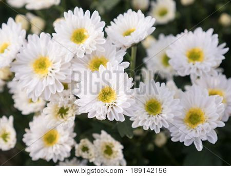 White chrysanthemum bunch in the flower bed of the countryside farm.(Select focus)