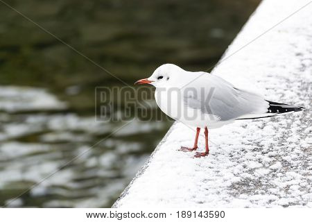 Seagull stands on a snow-covered area along the Lucerne River in the winter in the city of Lucerne Switzerland.