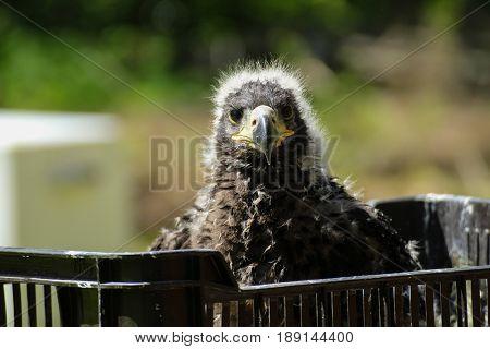 Littlle aegle. Baby child bird. Birdwatching in box.