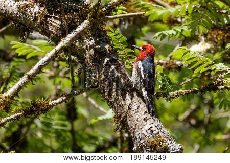 red breasted sapsucker at vancouver bc canada