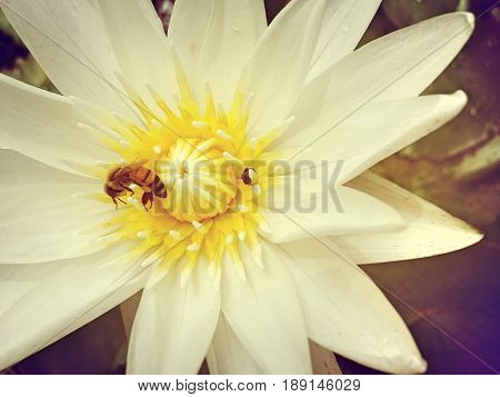 Bee Swarm Water Lily, Lotus With Bee.
