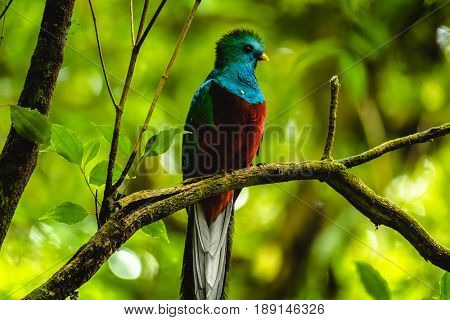 Male of resplendent quetzal (Pharomachrus mocinno) sits on branch in the forest. Costa Rica.