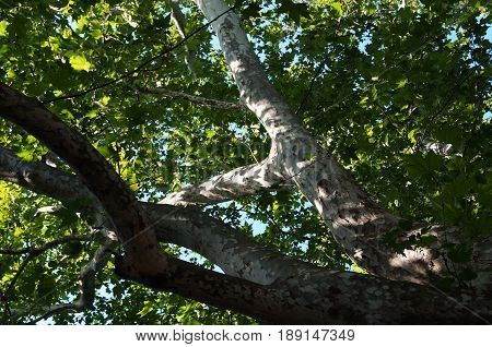Tree sycamore with green leaves and gray bark on blue sky background