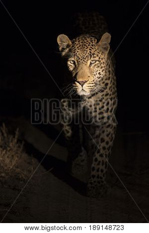 Portrait of leopard walking in the darkness to hunt