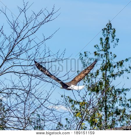 A bald eagle flying (lat. haliaeetus leucocephalus) in Vancouver, Canada.