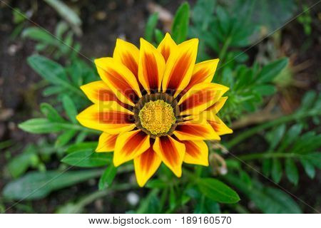 View on a beautiful Orange and Yellow Flower. Close-up of a  Gazania Flower. Garden Flowers. Blooming Flowers