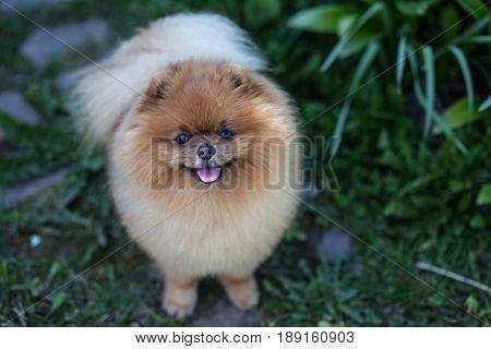 Pomeranian dogwalking otdoor. Beautiful dog in a stree