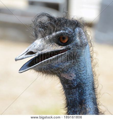 Close up of Emu with a hairy head.