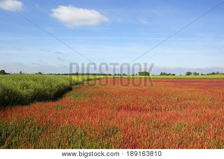Japanese Blood Grass And Oilseed Rape