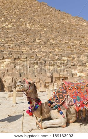 The Camel and Pyramids in Giza - Cairo, Egypt