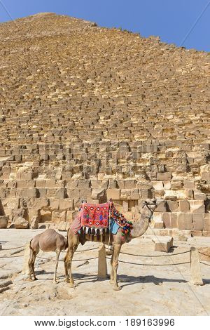 The Camel with her offspring and Pyramids in Giza - Cairo, Egypt
