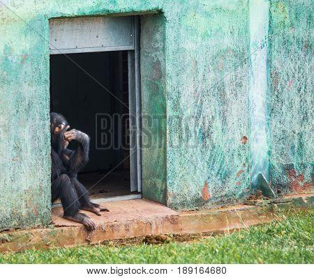 Chimpanzee Sitting In A Doorway
