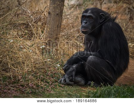 Big Black Chimpanzee Sitting On A Meadow