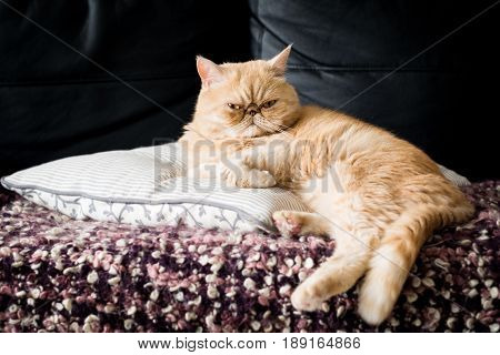 Exotic shorthair ginger cat sitting on the pillow. Cat portrait