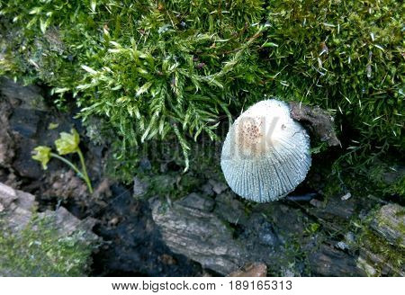 Mushroom white in the background of bark and moss in the summer in the forest closeup background blur
