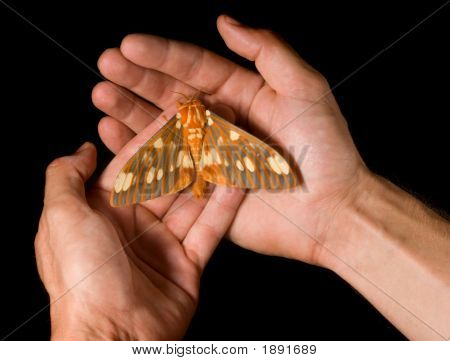 Regal Moth (Citheronia regalis) resting on hands poster
