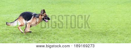 Running dog - website banner of a German Shepherd running in the grass