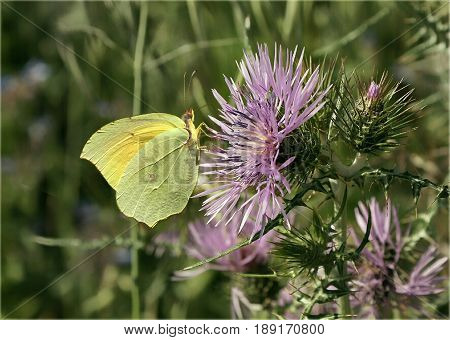 A yellow butterfly sucks the purple thistle
